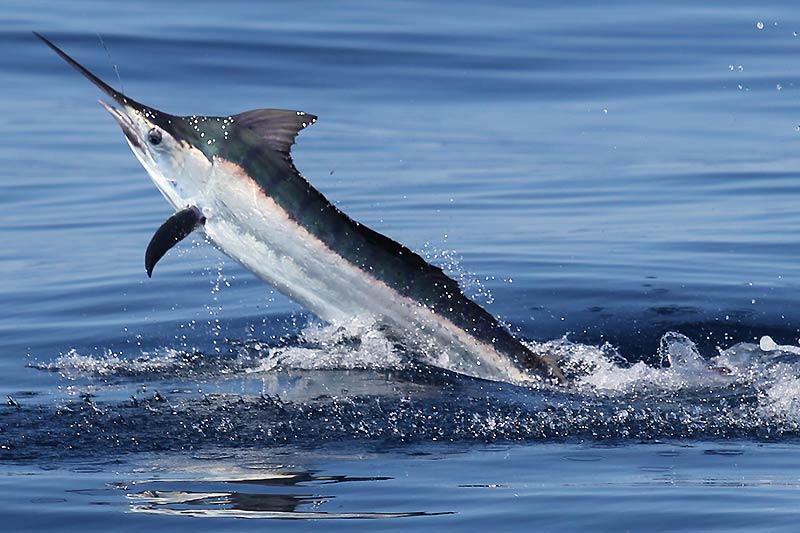 Blue Lightning Marlin
