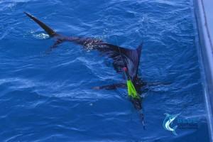 sailfish tag and release billfish WA