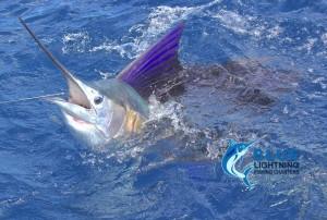 sailfish WA Montebello Islands