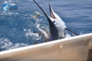 Sailfish Montebello Islands Fishing charter