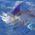 Sailfish lit up WA