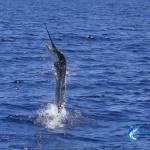 Free jumping Billfish WA