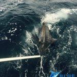 Blue Marlin Montebello Islands WA fishing