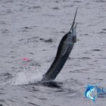 Sailfish Western Australia Fishing Charter Blue Lightning