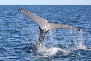 Whales Montebello Islands WA Fishing Charter