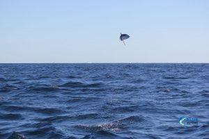 Flying Mackerel Montebello Islands