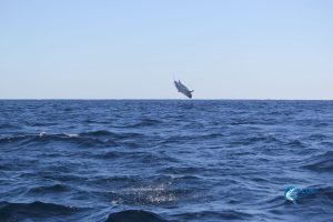 Mackerel putting on a show Montebello Islands WA fishing charter