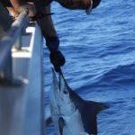 first ever black marlin Montebello Islands WA fishing charter