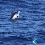 black marlin putting on a show