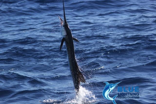 Sailfish montebello islands wa fishing charter blue for Wa fishing charters