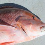 Red Emperor Montebello Islands WA fishing