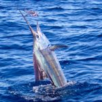 Sailfish Montebello Islands Blue Lightning Charters