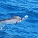 Marlin Montebello Islands Richter Lure