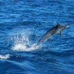 Marlin Montebello Islands Blue Lightning Charters