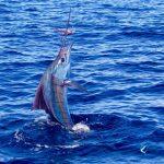 Sailfish Richter Lure Montebello Islands Blue Lightning Charters