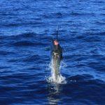 Sailfish Billfish Montebello Islands Blue Lightning Charters