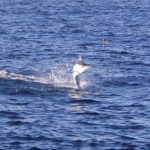 Black Marlin Montebello Islands WA fishing charter