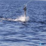 Black Marlin Blue Lightning Charters WA Fishing Charter