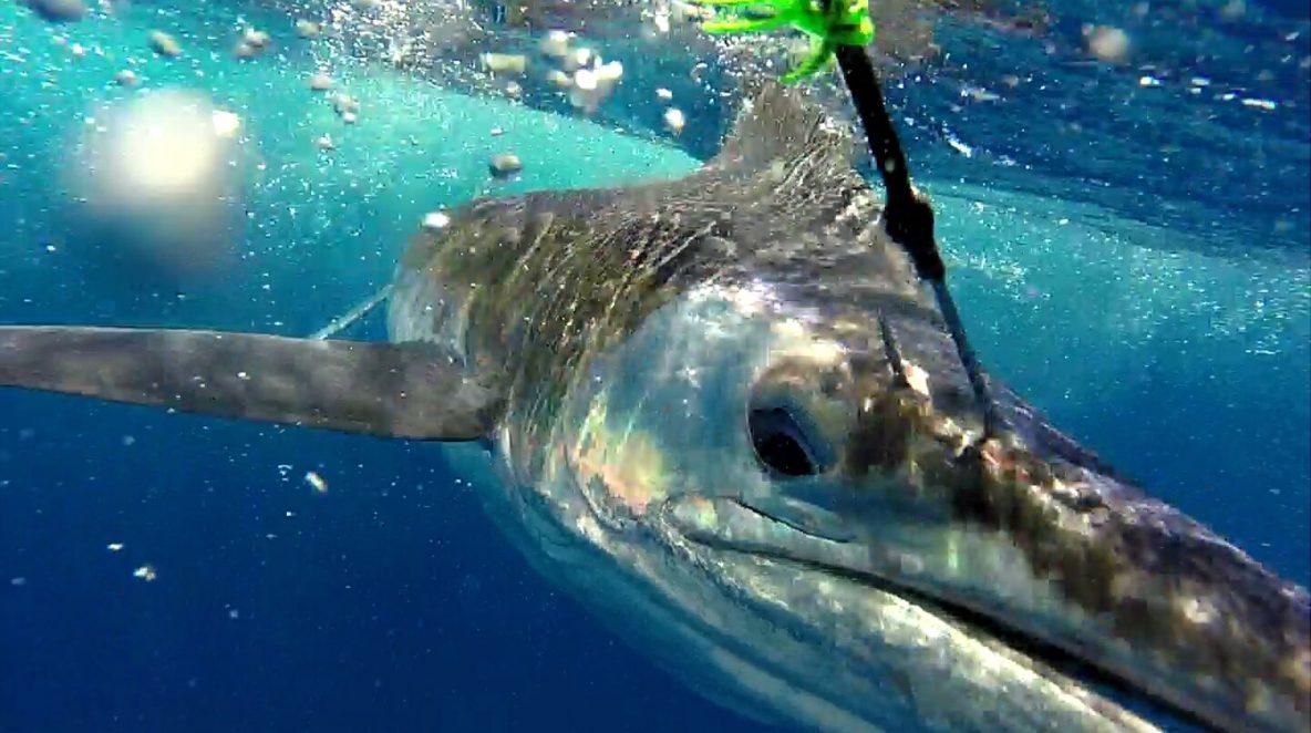 Striped Marlin WA fishing charter