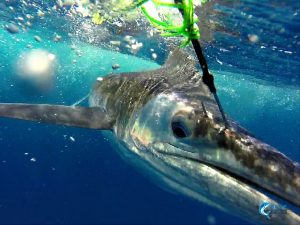 Striped Marlin WA fishing charter