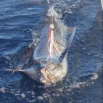 Black Marlin WA fishing charter