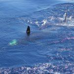 Stripe Marlin WA fishing charter billfish gamefish Blue Lightning Charters