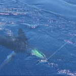 Stripe Marlin WA fishing charter billfish gamefish Blue Lightning Charters
