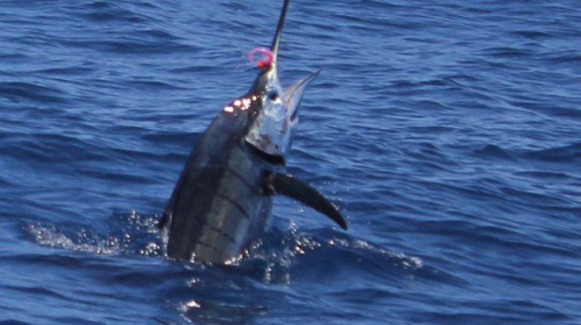 Sailfish Montebello Islands Fishing charter Blue Lightning Charters