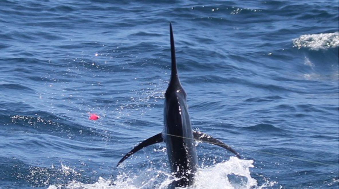 Black Marlin Montebello Islands WA fishing charter Blue Lightning Charters