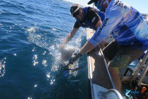 Sailfish WA montebello islands blue lightning fishing charters Captain Chad Mills
