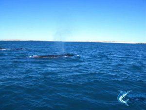 Montebello Islands Whales WA Blue Lightning Fishing charters