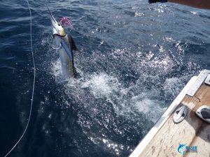 Stripe Marlin Leah Mills Blue Lightning Charters Montebello islands billfish