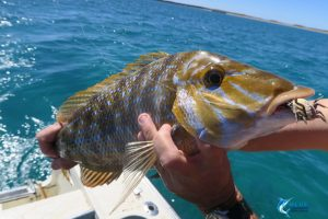 Cranka Crab lures Spangled emperor compleat angler nedlands blue lightning fishing charters