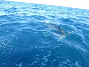 WA whale shark montebello Islands eco tour
