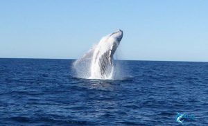 Whale breaching Montebello Islands WA fishing charter Blue Lightning charters eco tours