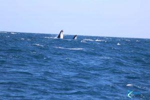 whales wa fishing charter blue lightning charters montebello islands