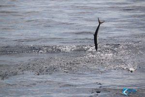 flying fish montebello islands fishing charter
