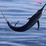 Marlin Montebello Islands fishing charter