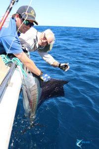 Sailfish gamefish Montebello Islands Wa blue lightning charters