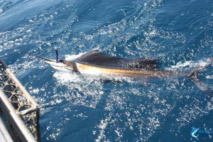 Sailfish Montebello Islands wa fishing charter