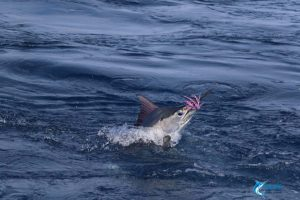 Black Marlin Montebello Islands gamefishing charter blue lightning charters