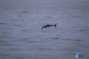 mackerel jumping montebello islands wa