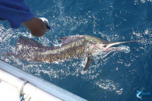 Sailfish WA Montebello Islands gamefishing