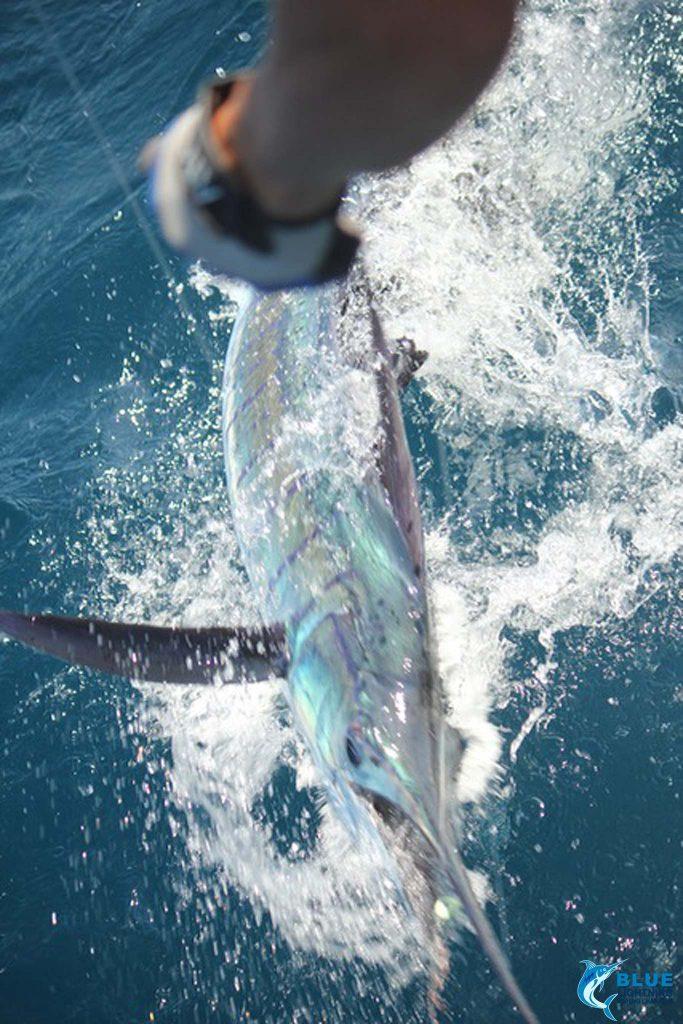 Sailfish record 39 single day lit up blue lightning charters montebello islands