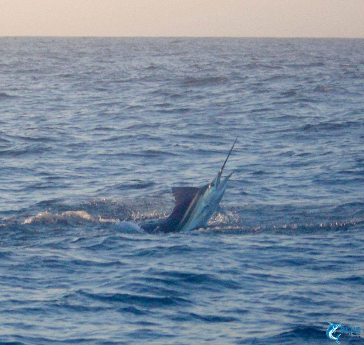 Sailfish WA blue lightning charters record