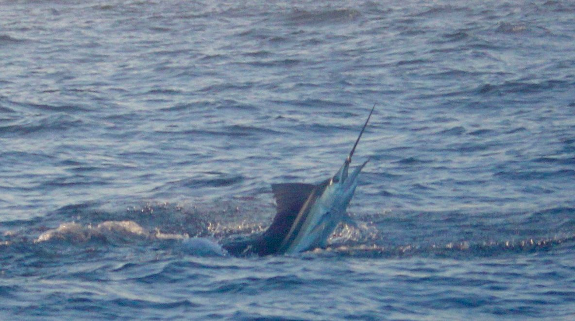 Sailfish WA blue lightning charters record