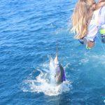 Sailfish montebello islands amazing billfishing