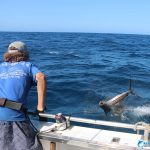 leadering sailfish billfishing australia blue lightning charters