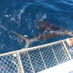 Sailfish billfishing WA Australia Montebello Islands Blue lightning fishing charters Chad Mills