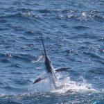 Sailfish caught zman plastic (1)